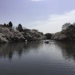 井の頭公園のさくら(1)