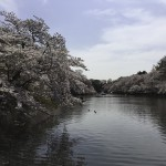 井の頭公園のさくら(2)